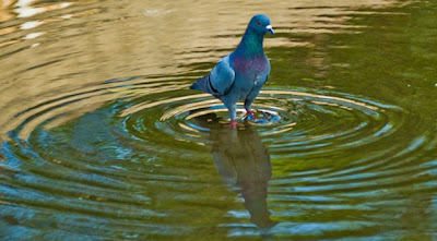 Posted by Ripple (VJ) : ripple, Vijay Kumar Sharma, ripple4photography, Frozen Moments, photographs, Photography, ripple (VJ), VJ, Ripple (VJ) Photography, Capture Present for Future, Freeze Present for Future, ripple (VJ) Photographs , VJ Photographs, Ripple (VJ) Photography, : An evening at Safdarjung Tomb, Delhi: Pigeon in water-body outside Safdarjung Tomb