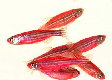danio_red_1.jpg.bmp 40 jenis Ikan hias air tawar yang banyak dipelihara di Indonesia  wallpaper