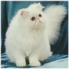 Kucing Persia umur 2 - 4 bulan (gak pake lama) harga 75