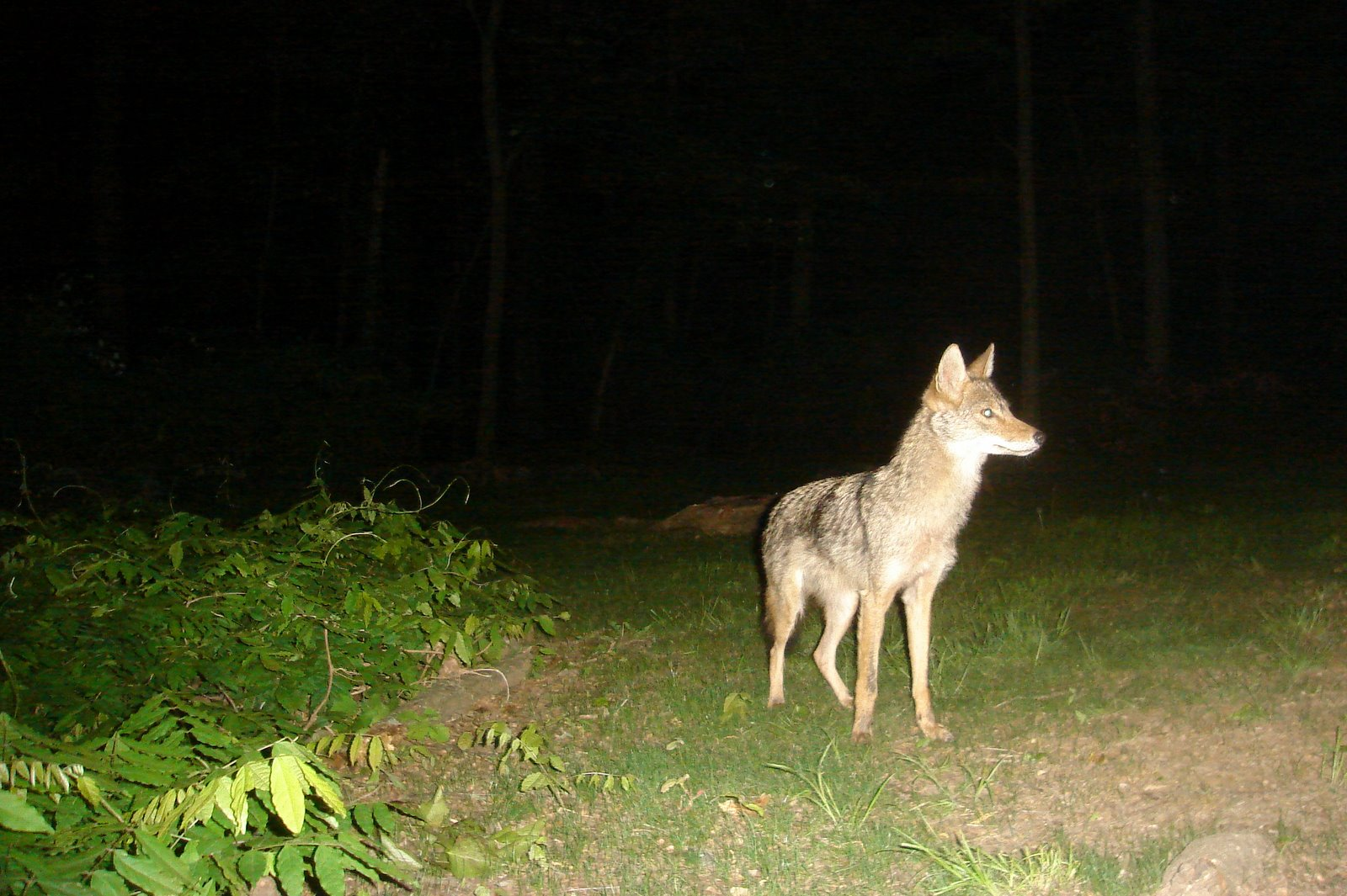 Lovely Coyote In My Backyard Pictures