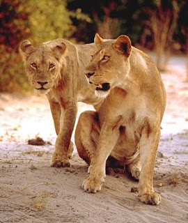 Best Lion Pictures From Africa-Bostwana