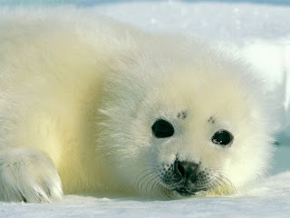 baby harp seal wildlife photography the 5 best animal photograph of National Geographic