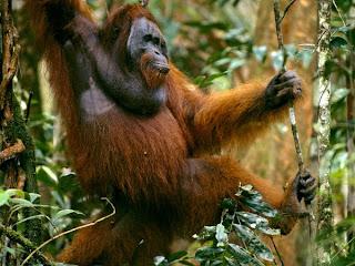 orangutan foundation Indonesia Kalimantan apes oldworld newworld angel canon