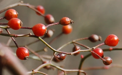Winter berries, Kitchens Lane Bridge.