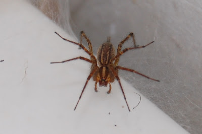 Spider on sink.