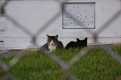 Two cats, seen through a fence.