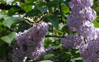 Farfalla sui Lillà