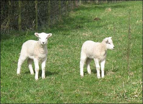 [sheep.htm]