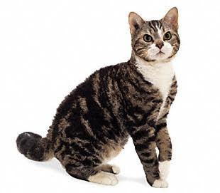 Kucing Jappanese Bobtail ini memiliki bulu totol-totol