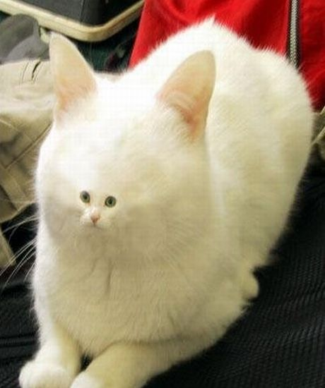 cat with small face
