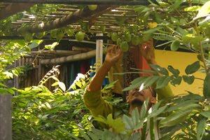 Tidak terjadi pembusukan bila menekan batang bambu disaat musim hujan