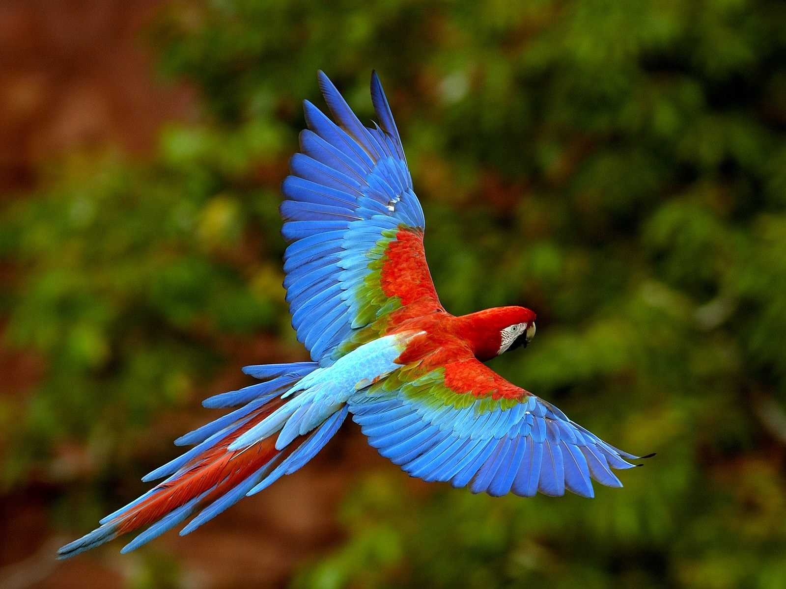 Macaw in flight wallpaper