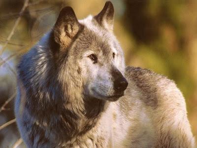 Free Grey wolf desktop background