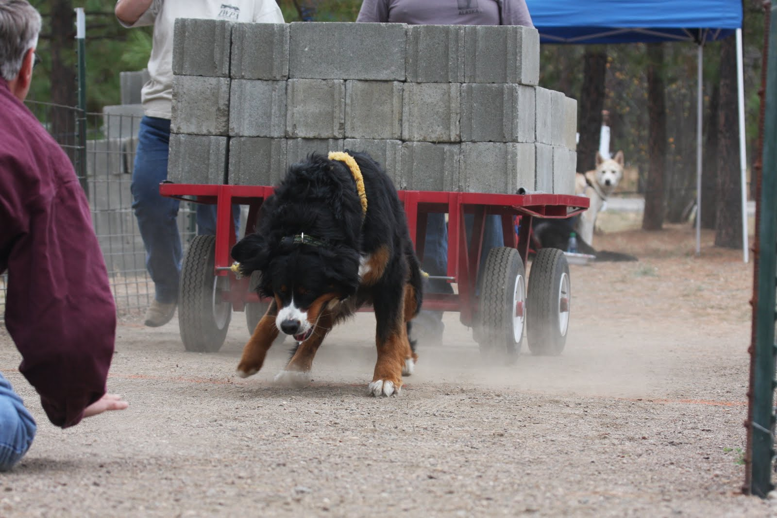 Russian caucasian shepherd images amp pictures findpik