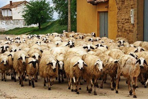 Sheep in Spain