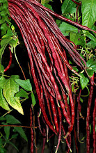Chinese Red Noodle Bean