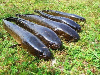 วิธีการเลี้ยงปลาช่อน