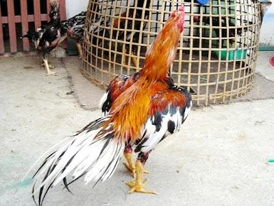 ไก่ชนพันธุ์เหลืองหางขาว