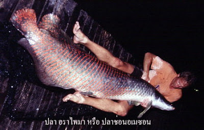 ปลา อราไพมา หรือ ปลาช่อนอเมซอน หรือที่คนพื้นเมืองเรียกว่า Pirarucu