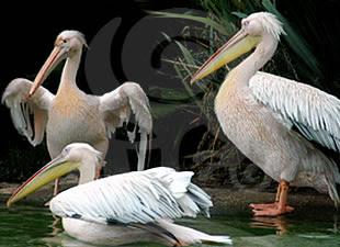 O Pelicano Na MaГ§onaria Na casa da vovó.....