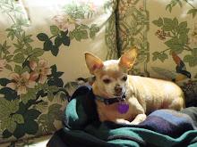 Annie, the Chihuahua