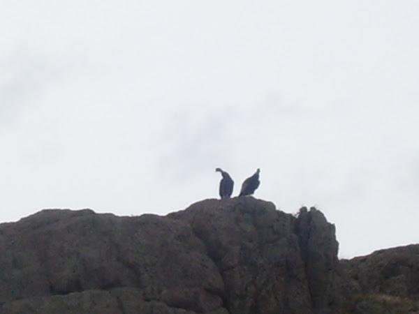 PCCA (proyecto conservación condor andino)