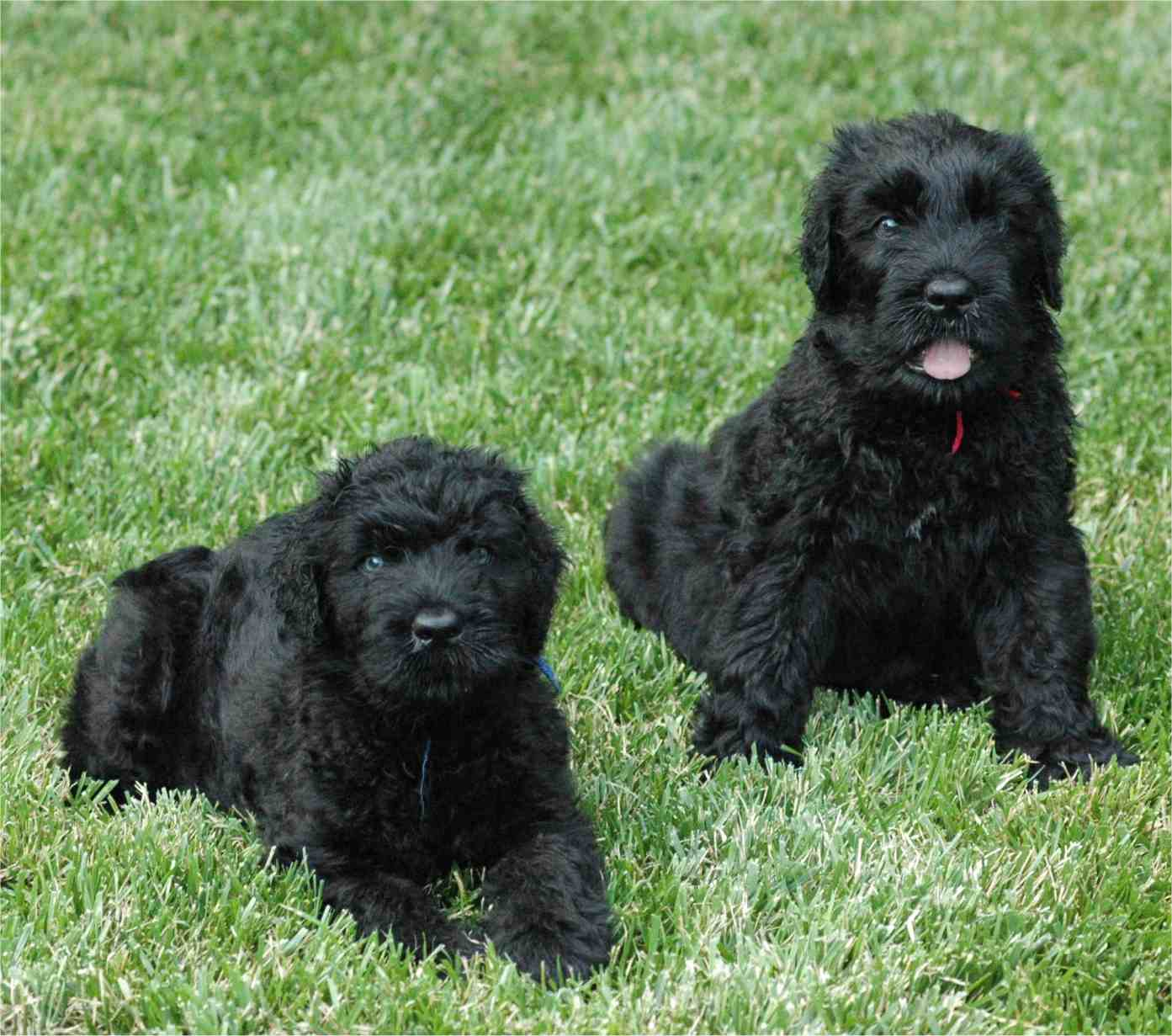 Black Russian Terrier Dogs Puppies