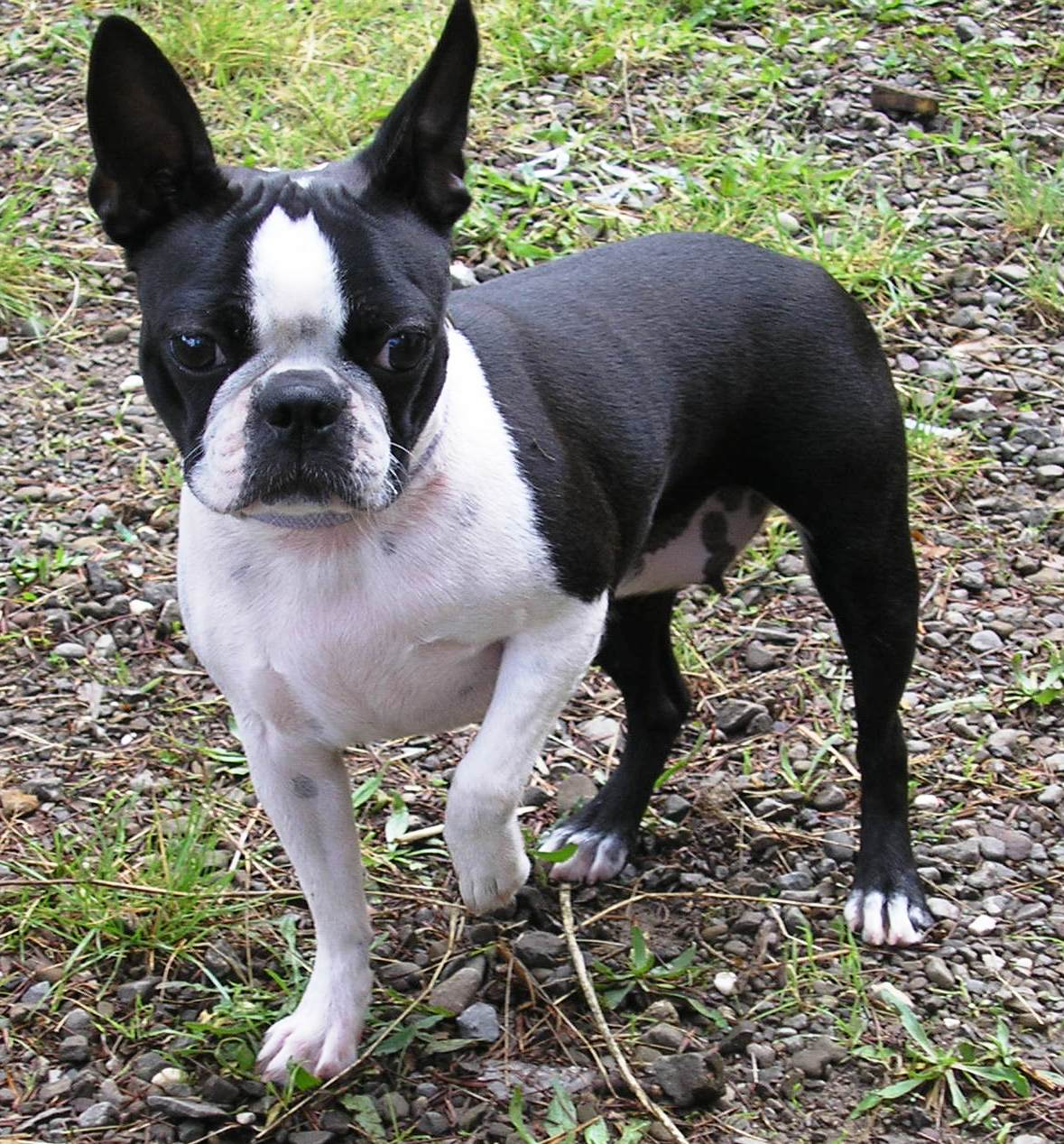 Adult Boston Terrier in the park
