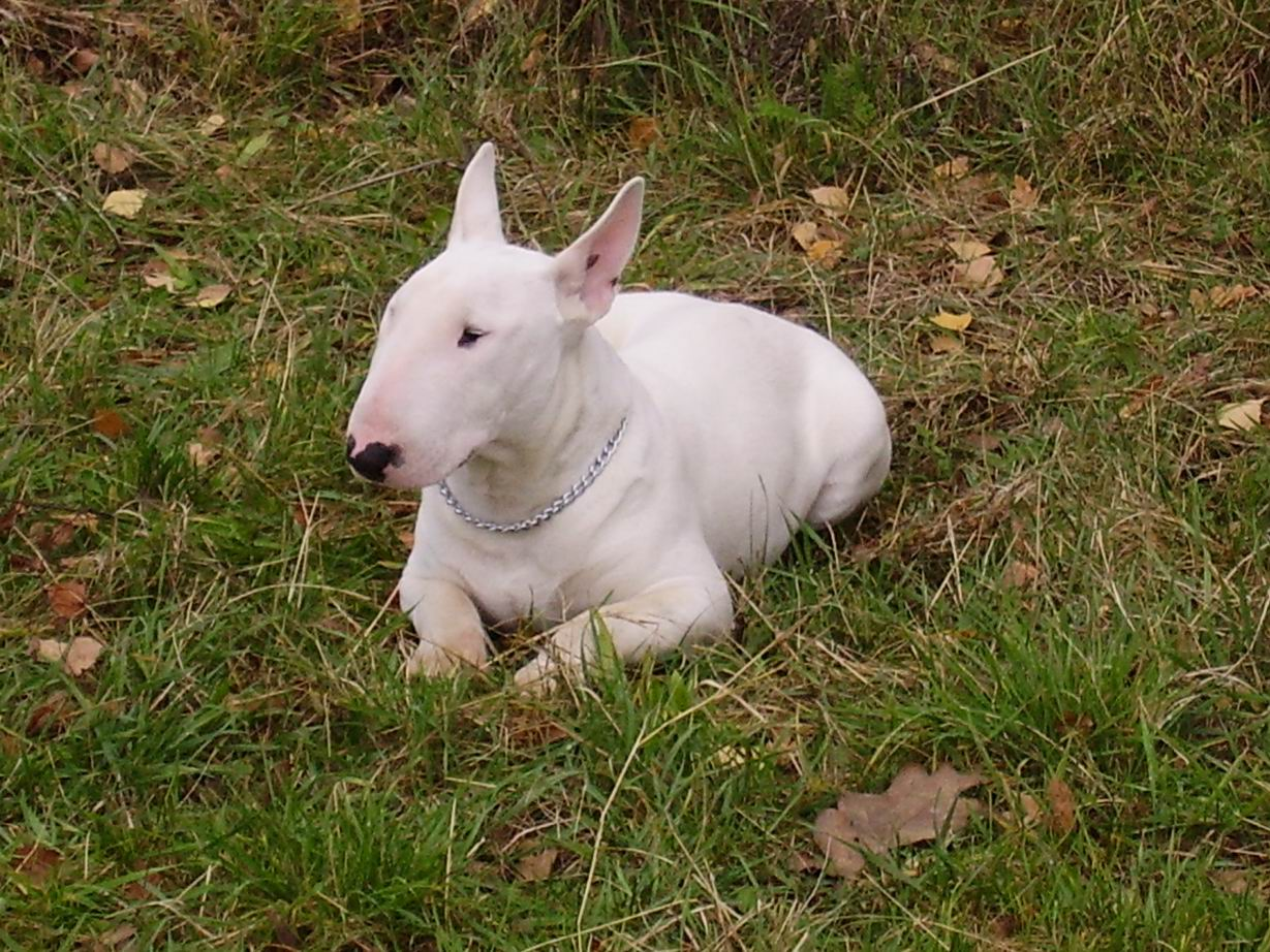 Bull Terrier:Pictures of Dogs and All About Dog