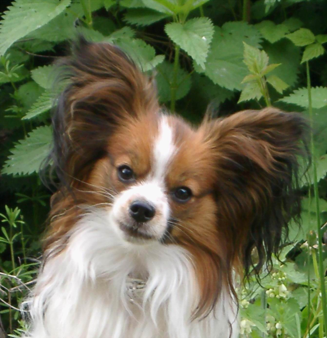 Papillon Dog Club Directory