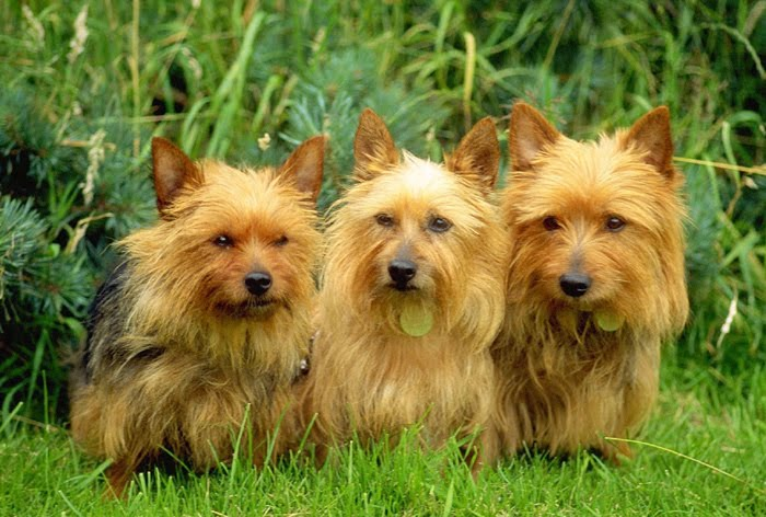 Australian Terrier Dogs