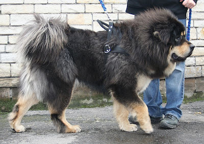 Tibetan Mastiff Training