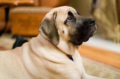 English Mastiff Image