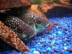 Jack Dempsey Fish