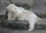 Save Our Polar Bears