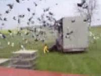 野放5000隻鴿子的壯觀場面