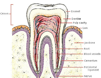 oral surgeons: human teeth:a general information, Human Body