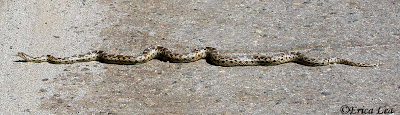 Pacific Gopher Snake, Central California