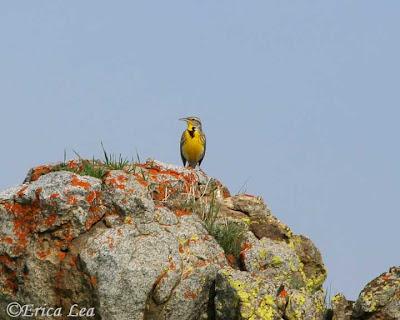 western meadowlark, bird