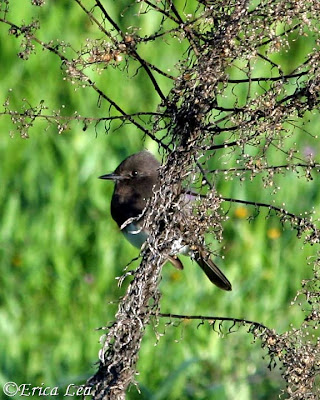 black phoebe, bird, weeds