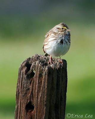 savannah sparrow, bird, erica lea, nature visions