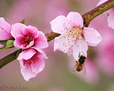 honey bee, pink flowers, fruit tree blossoms