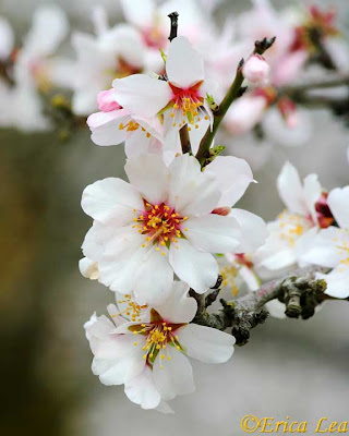 white flowers, fruit tree, blossoms, blooms