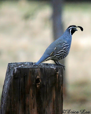 california quail, rain, stump