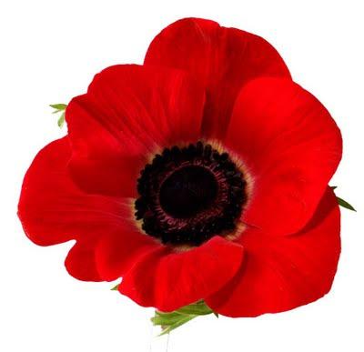 Poppy Flower Picture on Poppy Flower