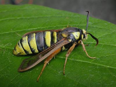 Sesia+apiformis+-+Hornet+Moth.jpg