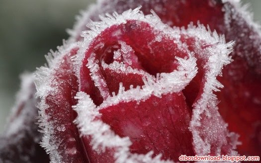 frozen flower rose