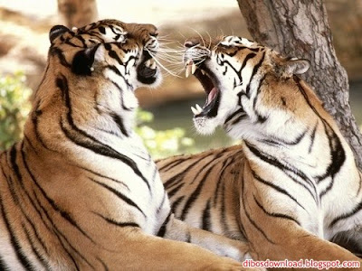 HD Two Tiger