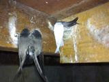 White swiftlets