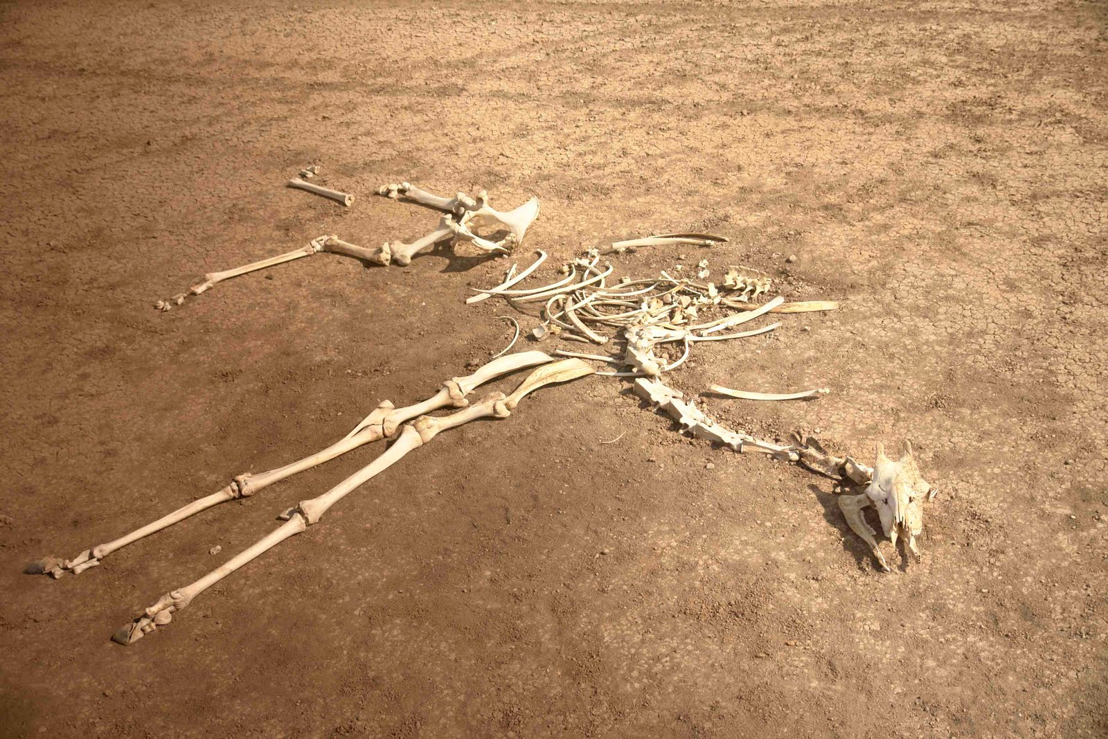 Displaying 20> Images For - Giraffe Skeleton...